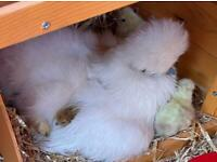 Silkie chicks ready for their new forever homes