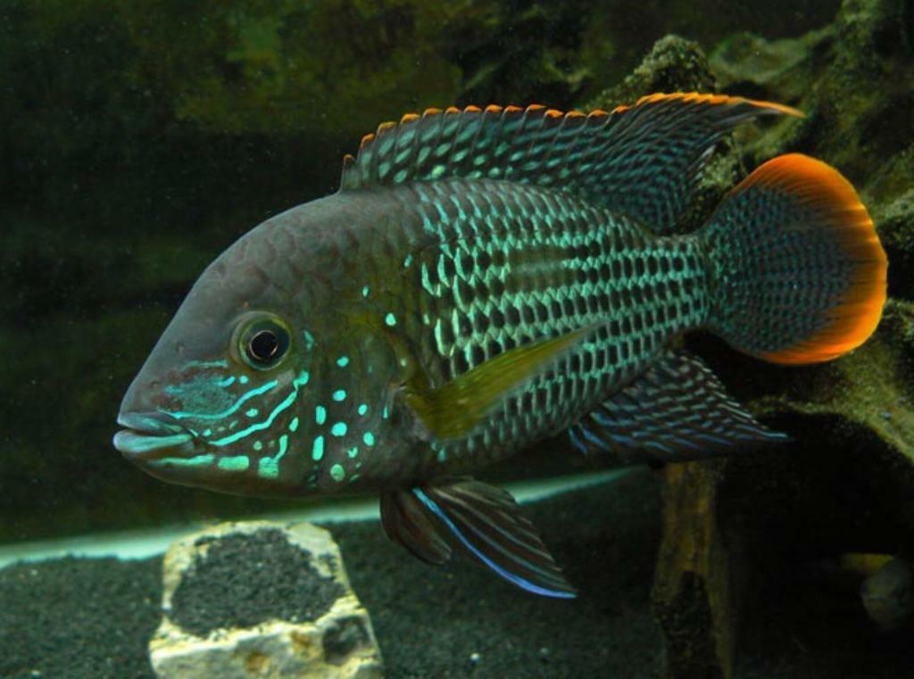 South American Cichlids & Marine Fish For Sale **PENDING ...