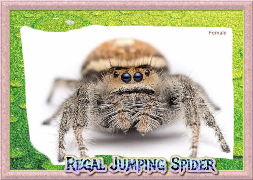 Female Regal Jumping Spider Phiddipus regius + Complete Habitat & Feeder Insects