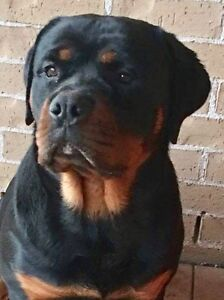 Pure Bob tail Rottweiler for sale . Male and female puppies. Currans Hill Camden Area Preview
