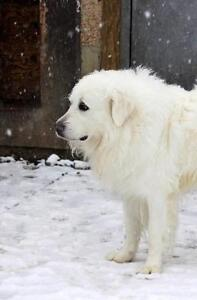"Adult Male Dog - Great Pyrenees: ""Arrow Oliver"" Strathcona County Edmonton Area image 3"