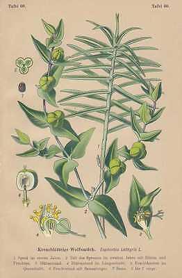 Euphorbia Lathyris - Kreuzblättrige Wolfsmilch LITHO  1910 Giftmilch Spechtwurz