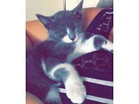 Beautiful grey/white kitten