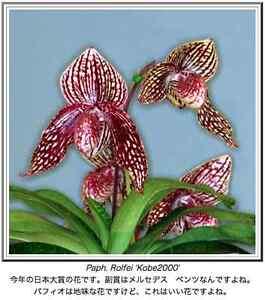 QOB Orchid Plant BLACK Multi-Florous Paphiopedilum Death Star x anitum 90mm pot