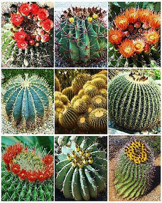 Barrel Cactus Seeds - BARREL CACTUS VARIETY mix exotic globular ball cacti rare flower seed 50 SEEDS