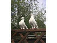 Pigeon,fantail,white, for sale £25 each