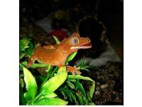 2 crested gecko hatchlings