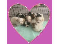 Bichon/Maltese/Shih tzu pups for sale