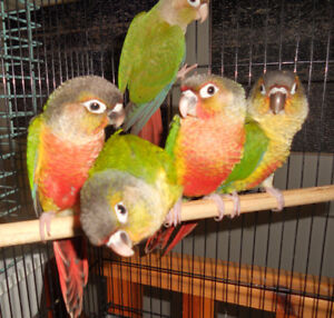 Friendly Baby Yellowsided and Pineapple Greencheek Conures