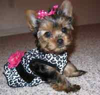 Looking for: TEACUP YORKIE PUPPY