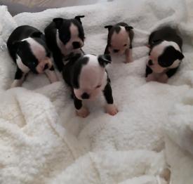 Kc reg Boston terriers