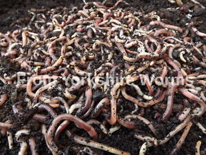 100g-Dendrobaena-Worms-YORKSHIRE-WORMS-Wormeries-Reptile-Food-Fishing-Compost