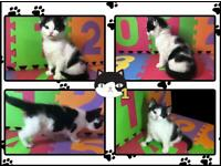 Selling 2 White And Black & 1 Calico Female Kittens