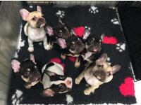 KC Registered French Bulldog Puppes
