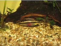 KRIBENSIS ( Dwarf Rainbow Cichlid )