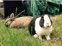 EXPENSES PAID! Home needed for two friendly healthy rabbits
