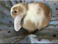 5*homes required for fluffy Mini Lop bunnies
