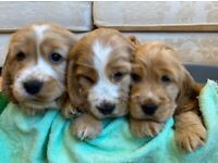 KC Registered Golden Show Type Cocker Spaniel Puppies