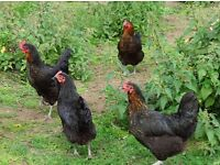 CHICKENS GENUINE BLACK ROCK HENS 18 WEEKS OLD £12 EACH
