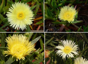 Pigface succulent ground cover Eden Hill Bassendean Area Preview