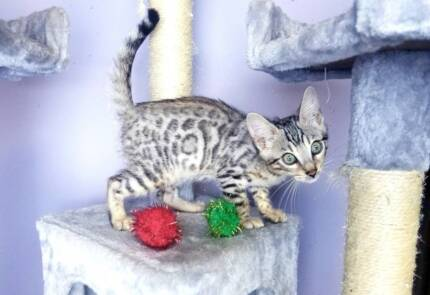 Bengal Kittens! Brown and Silver Rosetted or Marbled Kittens