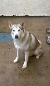 Husky in need of new home. Forest is a beautiful, playful, dog. Genuine reason for re-homing
