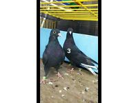various pigeons