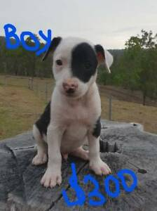 border collie puppies for sale gumtree australia free classifieds
