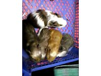 8 baby guinea pigs for sale 4 boys and 4 girls, various colurs