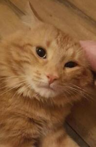 "Adult Male Cat - Domestic Long Hair - orange: ""Hemmingway"""