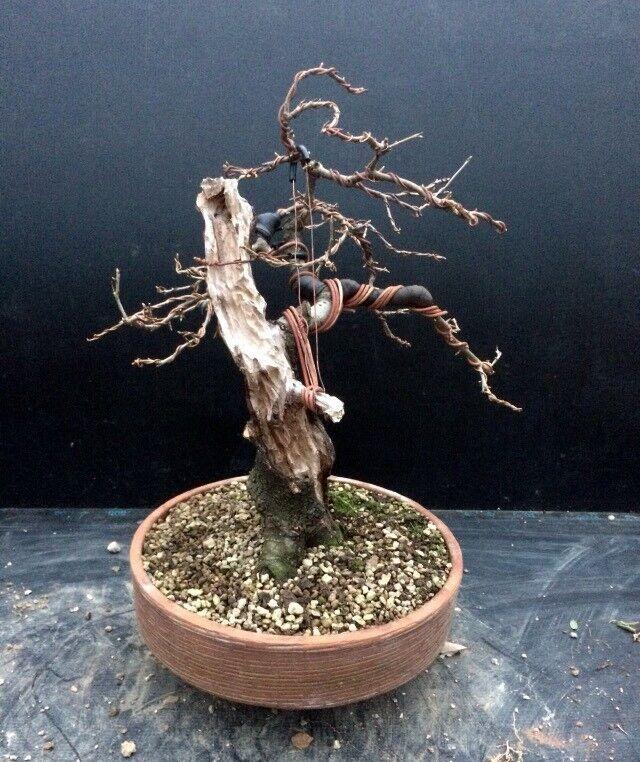 """""""Sold"""" Wild Cherry """"Prunus Mahaleb Bonsai"""