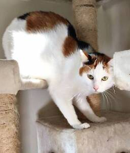 AC0326 : Annie - CAT FOR ADOPTION - Vet Work Included Midvale Mundaring Area Preview