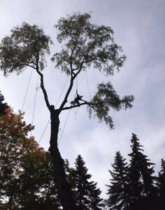 Ash tree removal ! Dangerous trees ? Call etree Oakville / Halton Region Toronto (GTA) image 5