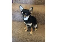 Female smooth coat chihuahua 11 months Tiny Tiny