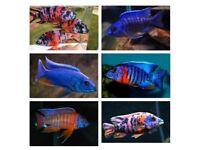 Fish Malawi cichlids various 4 inch +