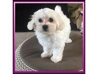 1 Maltese female puppy