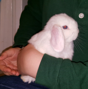 White female blue eyed lop