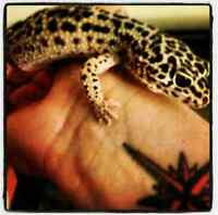 Leopard gecko and accessories