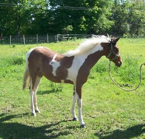 2016 Registered Bay Tobiano Filly for sale