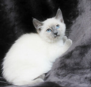 Ragdoll Siamese Kittens are ready for Adoption