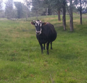 Bred Dexter/Jersey cross cow for sale