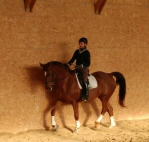 Distinguished, Dressage-trained, 6yr Oldenburg Gelding!