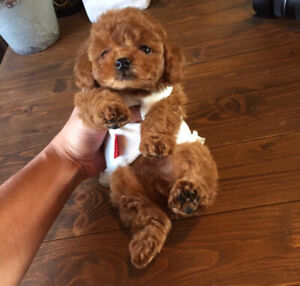Super Cute❤️ tiny toy red poodle puppy❤️