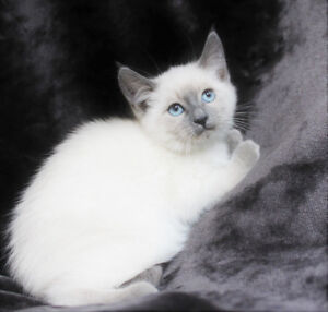 Beautiful Siamese Ragdoll Female Kittens