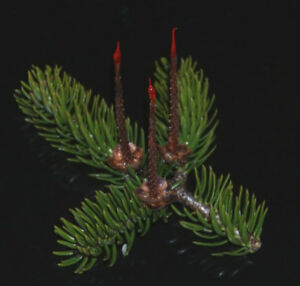 Miniature Christmas Candles made from Balsam Fir cones