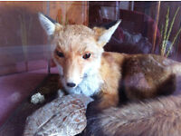 Taxidermy Fox With Partridge In Display Case
