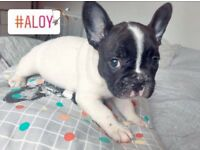 Stunning Female French Bulldog