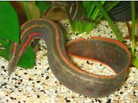 Fire Eels for sale. Around 8 inches size. £12 each