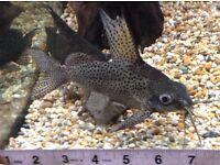 Synodontis Eupterus Feather fin Catfish - 3 off tropical fish