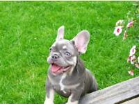 Lilac tan french bulldog puppy